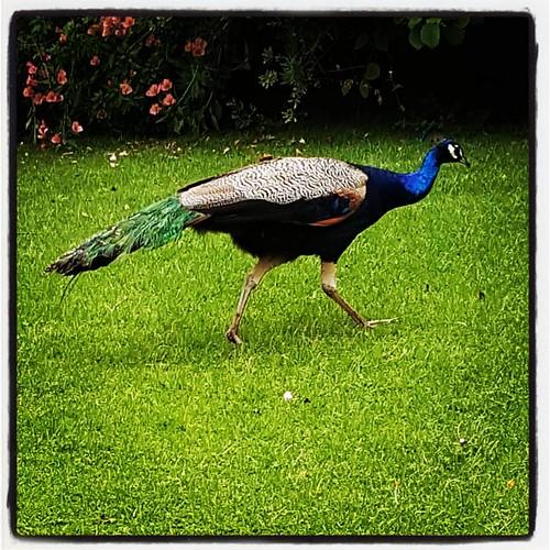 Peacock blue #peacock #farm