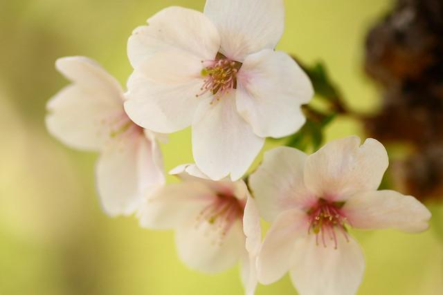 Sakura 2012-6