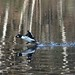 Common Goldeneye / Knipa