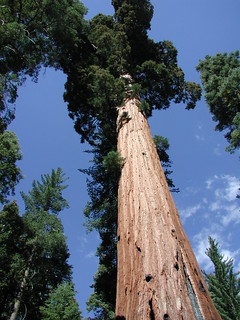 Yosemite Redwoods