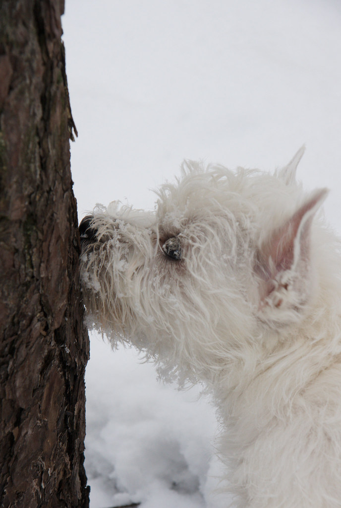 Westie Cute Funny Puppy West Highland White Terrier Sniffing
