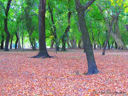 autumn trees art colors leaves contrast america forest canon hojas uruguay is flickr arboles photographer arte shot colores powershot bosque contraste capture dolores sud sx130 elbetobm