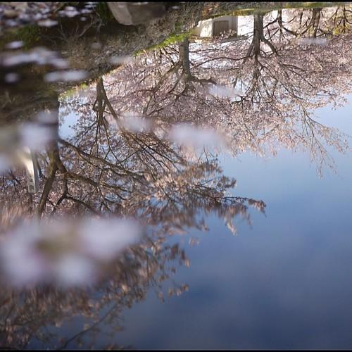 水面に映る桜かな