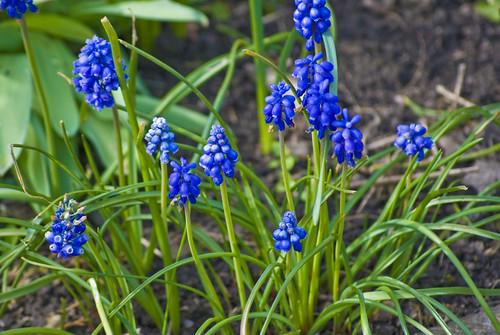 Grape Hyacinths by Melodysparks (Chris Preedy)