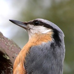 Nuthatch Close Up
