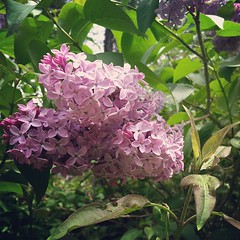 My favorite. #lilacs