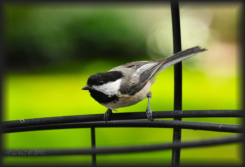 Black-Capped Chickadee Babe in for the noshing