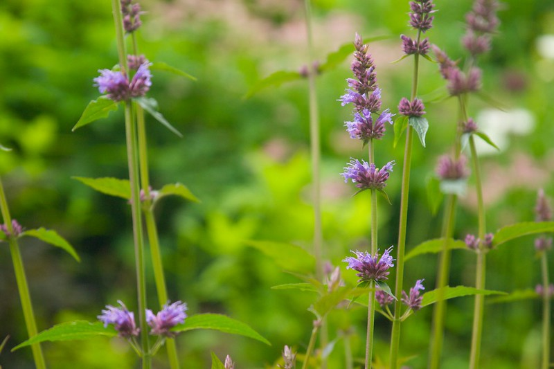 agastache purple haze  1712