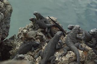 Juvenile marine iguanas (Amblyrhynchus cristatus) on Isabela, Galapagos Islands