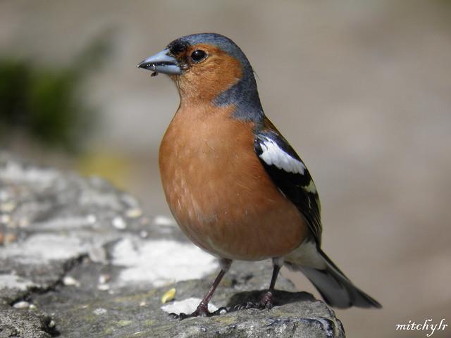 Male Chaffinch 8
