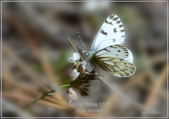 Spring White Colorado Butterfly photography by Ron Birrell; DSC_0103