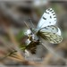 Spring White Colorado Butterfly photography by Ron Birrell; DSC_0103 thumbnail