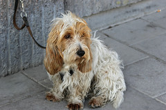 schnoodle(0.0), glen of imaal terrier(0.0), spinone italiano(0.0), dandie dinmont terrier(0.0), english cocker spaniel(0.0), dog breed(1.0), animal(1.0), dog(1.0), petit basset griffon vendã©en(1.0), pet(1.0), cockapoo(1.0), carnivoran(1.0), terrier(1.0),