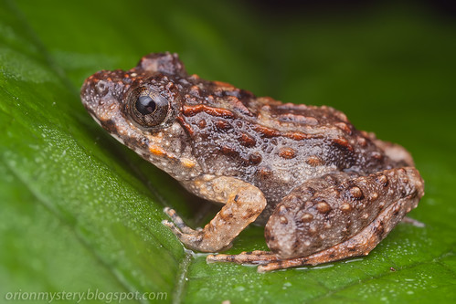IMG_6256 copy Kuhl's Creek Frog (Limnonectes kuhlii)