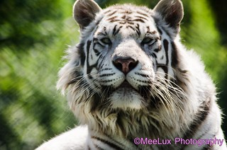White Tiger Colour