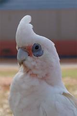 sulphur crested cockatoo(0.0), parakeet(0.0), african grey(0.0), cockatoo(1.0), animal(1.0), white(1.0), pet(1.0), fauna(1.0), close-up(1.0), beak(1.0), bird(1.0),