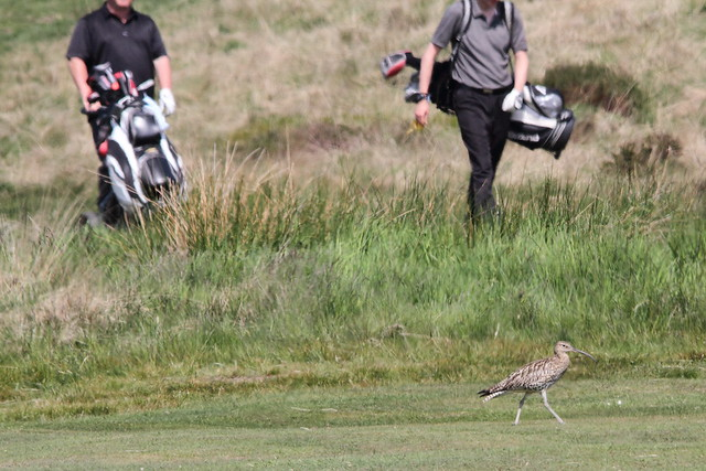 Curlew on the fairway and golfers in the rough