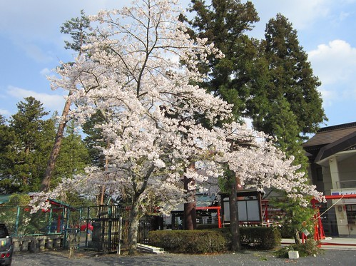 IMG_5297 護国神社の桜@仙台 2013年4月22日 by Poran111