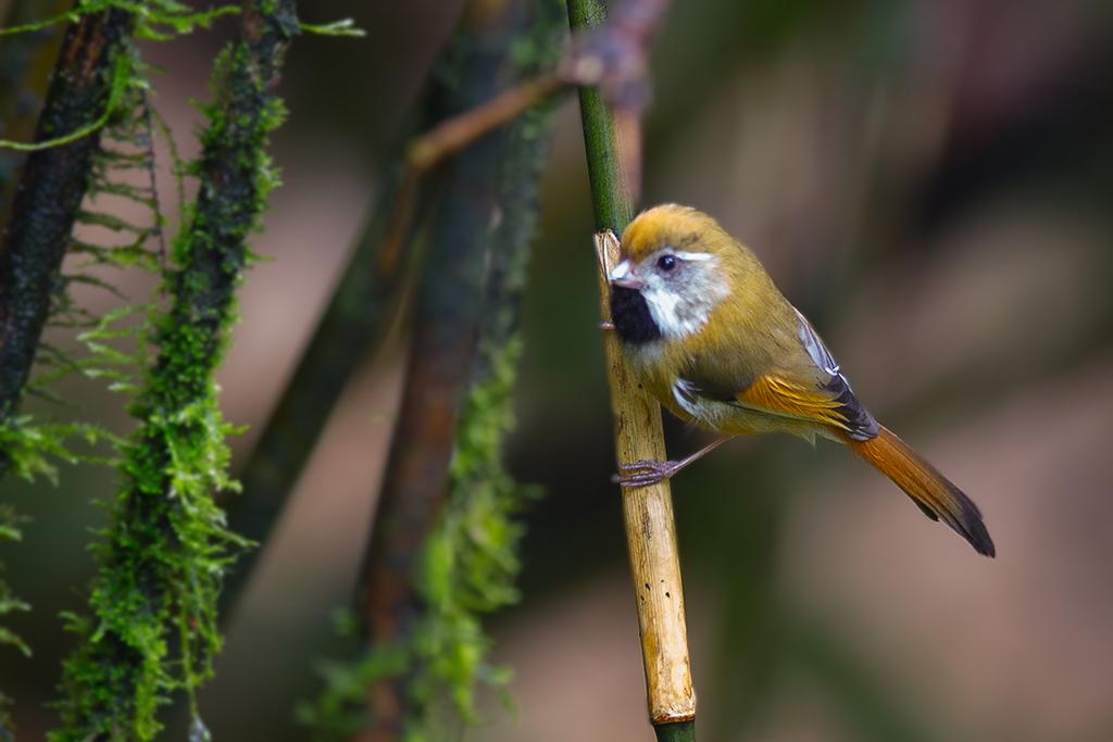 黃羽鸚嘴-4212