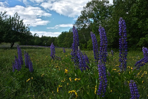 Lupine on Blue Hill Mountain