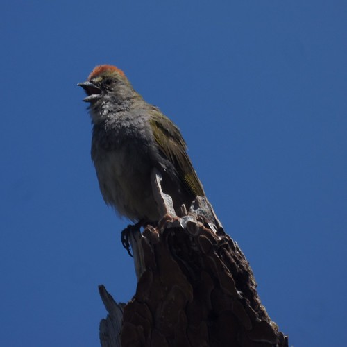 Green-tailed towhee by Mike's Birds