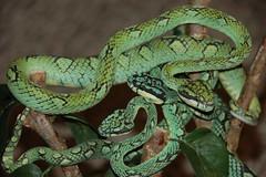 Guatemalan Palm Viper (Pit Viper)