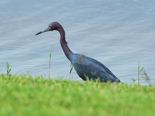 Little Blue Heron thru window 20130802