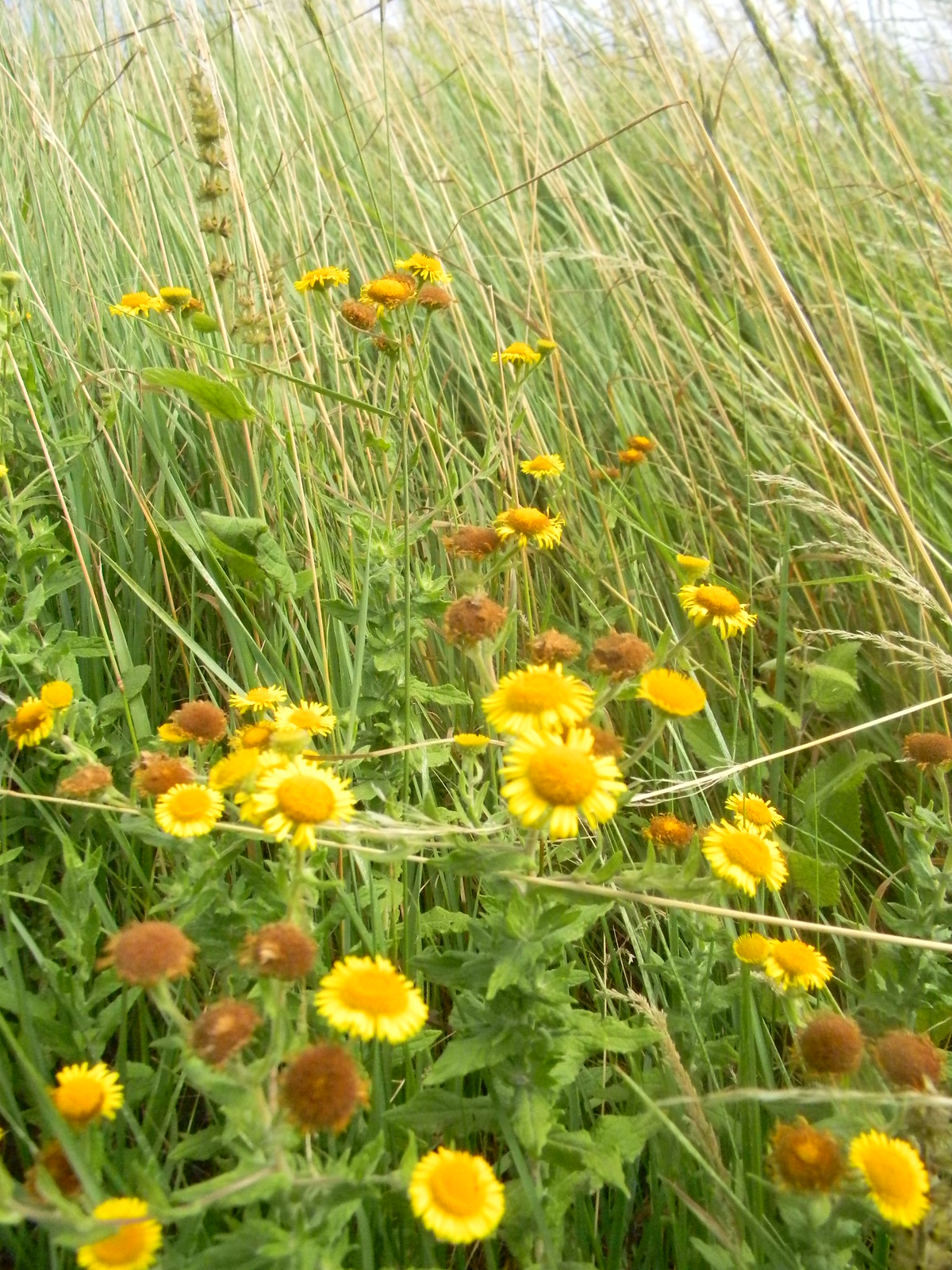 "Fleabane Is there a ""tickbane"", I wonder. Southbourne to Chichester"