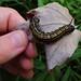 Small photo of Anisota senatoria - Orange Striped Oakworm