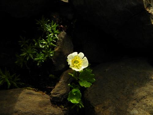Ranunculus alpestris=Renoncule alpestre (1)