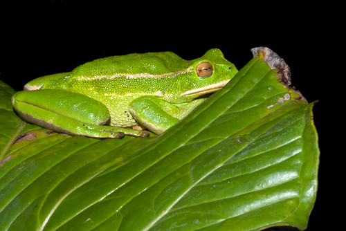 <i>Gastrotheca plumbea</i> Rana marsupial plomiza ♀ con crias