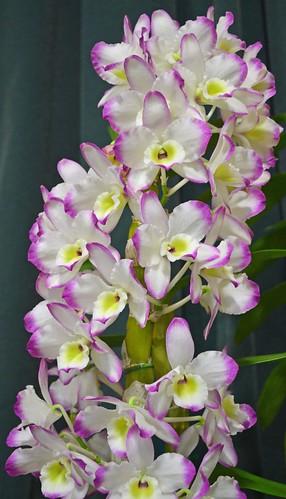 2013-10 Oct-Dendrobium Mild Yumi   <BR>Lotus