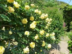 rosa wichuraiana, shrub, garden roses, floribunda, flower, yellow, plant, flora,