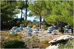 The bees produce pinia honey - Ikaria