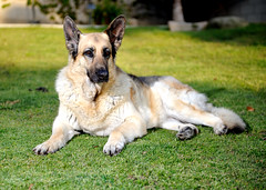 white shepherd(0.0), berger blanc suisse(0.0), dog breed(1.0), german shepherd dog(1.0), animal(1.0), dog(1.0), czechoslovakian wolfdog(1.0), pet(1.0), old german shepherd dog(1.0), norwegian elkhound(1.0), tervuren(1.0), wolfdog(1.0), saarloos wolfdog(1.0), east-european shepherd(1.0), shiloh shepherd dog(1.0), carnivoran(1.0),