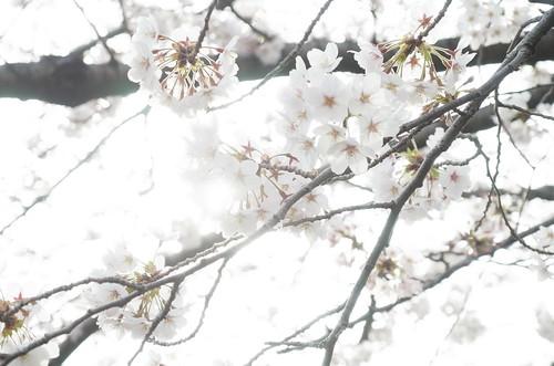 Megurogawa Sakura 09