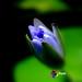 Lotus Biru