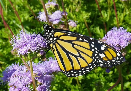 justin nature butterfly insect texas wildlife lepidoptera monarch