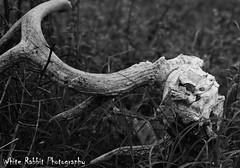 Deer Horns - 1.5