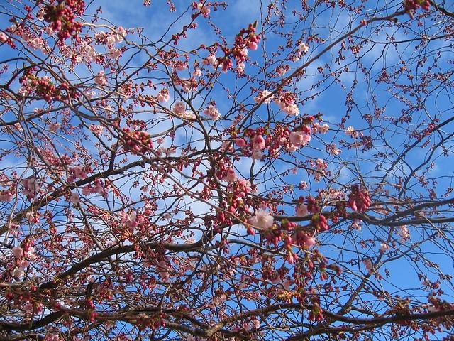 Cherry blossoms, Kungsträdgarden, Stockholm 2012 - #4