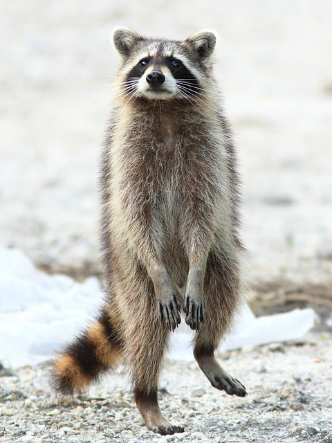 Raccoon 2-20120419