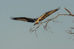 Osprey Stick Hunting-4111.jpg by Mully410 * Images