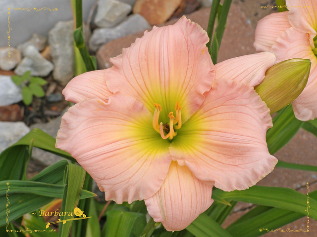 ~ day lily in my garden...