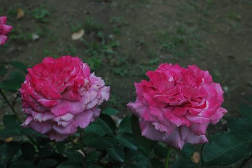 成功1號玫瑰花 圖:成大提供