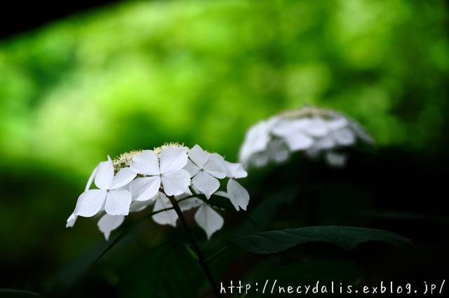 White Hydrangea...