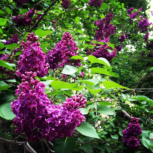 Same shot, three angles: the lilacs