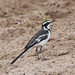 African Pied Wagtail - Photo (c) Lip Kee, some rights reserved (CC BY-SA)