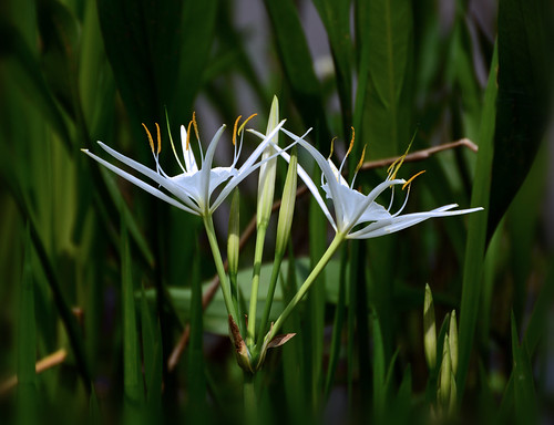 The Swamp's Elegant Side~Cahaba Lily
