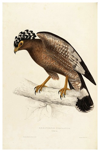 006-Haematornis Undulatus-A Century of Birds from the Himalaya Mountains-John Gould y Wm. Hart-1875-1888-Science Naturalis