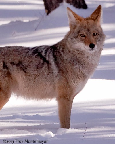 Coyote, Grand Canyon National Park